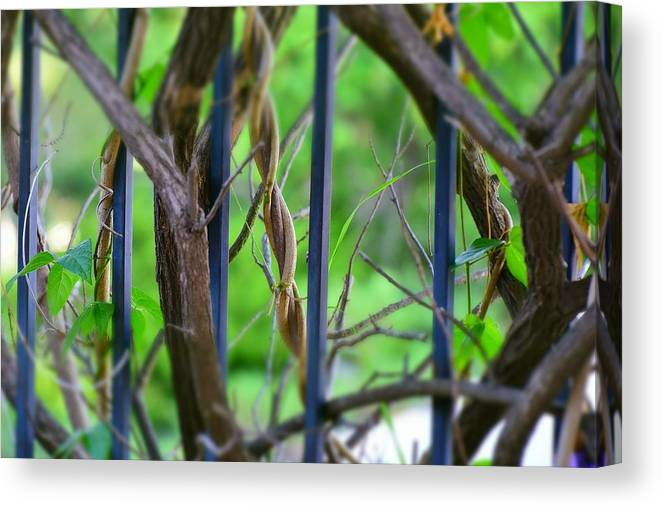 Linda Brody Canvas Print featuring the photograph Vines II by Linda Brody