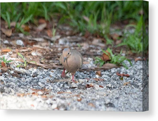 Mourning Dove Canvas Print featuring the photograph Watching My Step by JR Cox