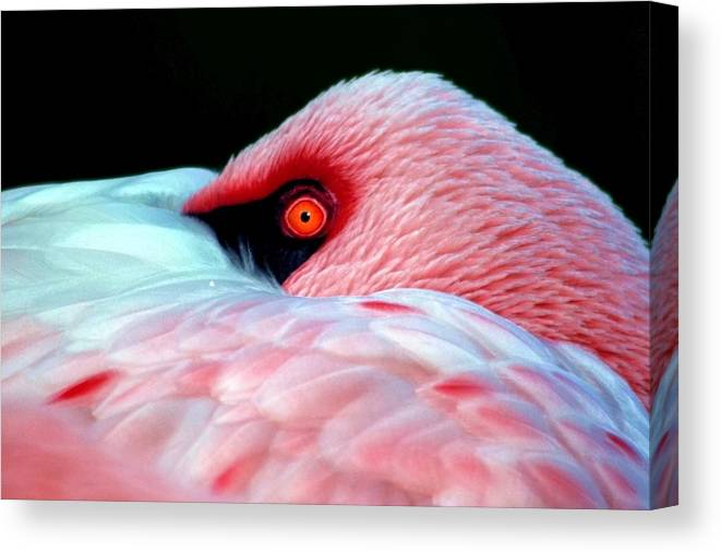 Pink Canvas Print featuring the photograph Wearing Pink by Mitch Cat