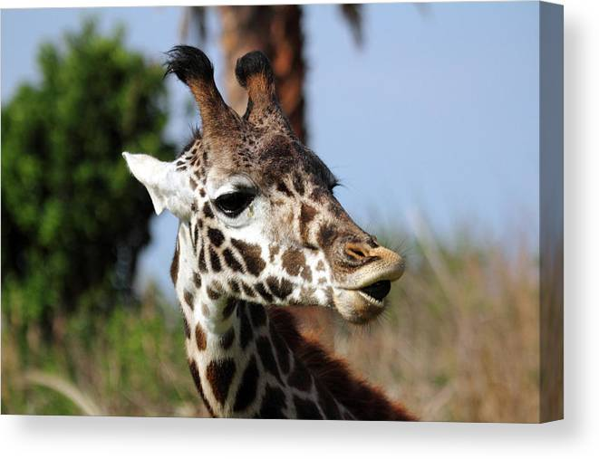 Giraffe Canvas Print featuring the photograph What Did You Say by Mary Haber