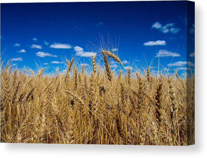 Wheat Canvas Print featuring the photograph Wheat Field by Bob Mintie