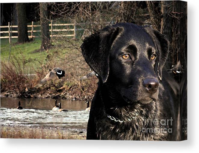 Black Canvas Print featuring the photograph Where's The Geese Labrador 4 by Cathy Beharriell
