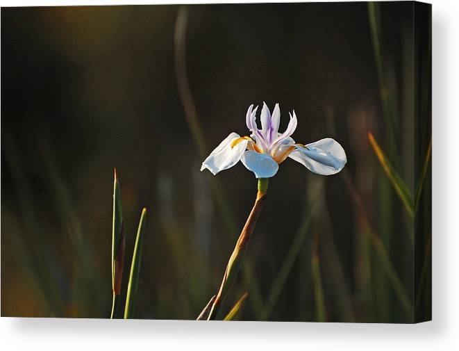Flower Canvas Print featuring the photograph White African Iris by Jean Booth