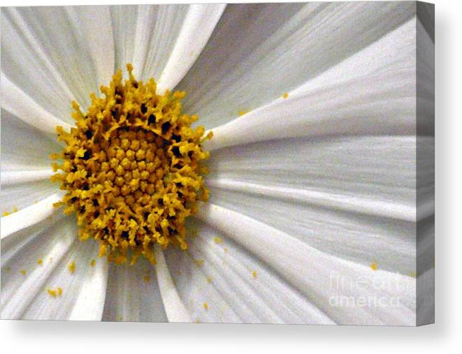 Flower Canvas Print featuring the photograph White Cosmos by Jacqueline Milner