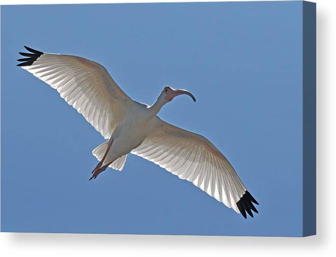 Ibis Canvas Print featuring the photograph White Ibis Soaring by Alan Lenk