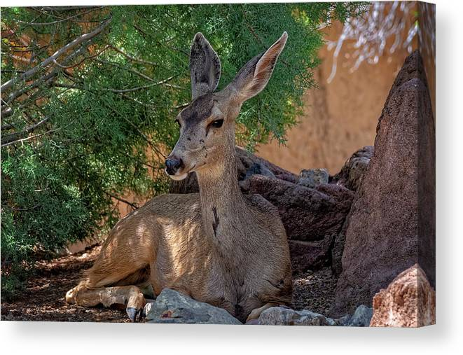 White-tailed Deer Canvas Print featuring the photograph White-tailed Deer H1829 by Mark Myhaver