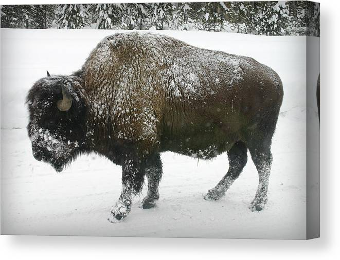 Buffalo Canvas Print featuring the photograph Winter Buffalo by Patricia Montgomery