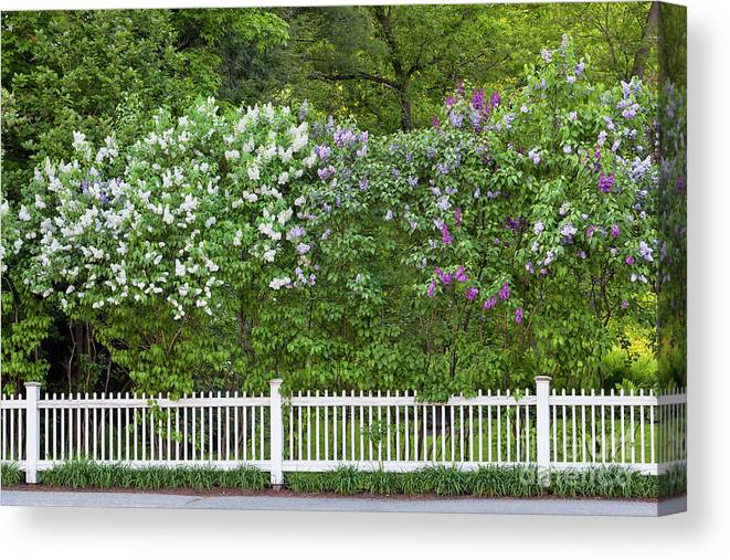 Spring Canvas Print featuring the photograph Woodstock Village Lilacs by Alan L Graham