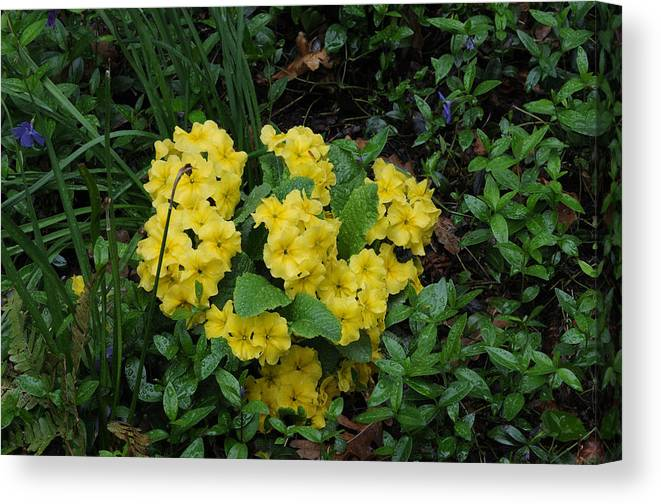 Primrose Canvas Print featuring the photograph Yellow Primrose by Terese Loeb Kreuzer