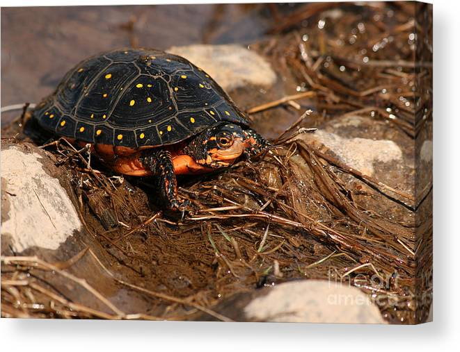 Turlte Canvas Print featuring the photograph Yellow-spotted Turtle Crawling Through Wetland by Max Allen