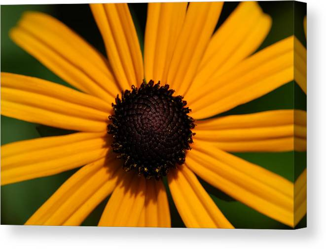 Sunflower Canvas Print featuring the photograph You Are My Sunshine by Mandy Wiltse