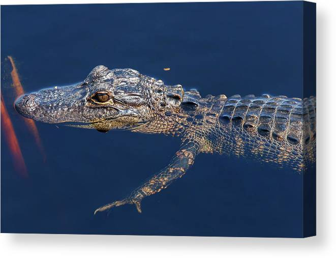 Nature Canvas Print featuring the photograph Young Gator 1 by Arthur Dodd
