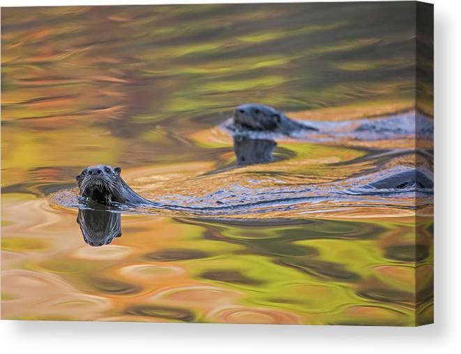 Ottercollection Canvas Print featuring the photograph North American River Otter Two Swimming, Maine, Usa by George Sanker / Naturepl.com