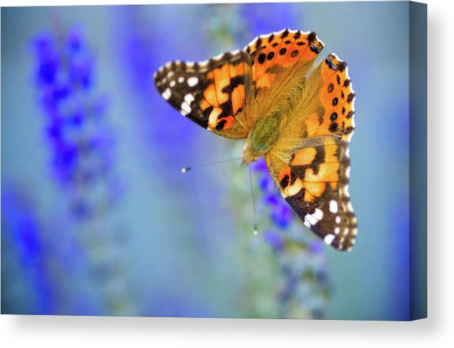 Butterfly Canvas Print featuring the photograph Painted Lady Butterfly by Nicole Young