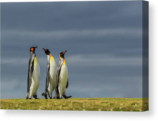 Adam Jones Canvas Print featuring the photograph Trio Of King Penguins, Volunteer Point by Adam Jones