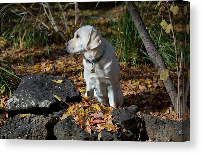 Animal Canvas Print featuring the photograph Yellow Labrador Retriever by William Mullins