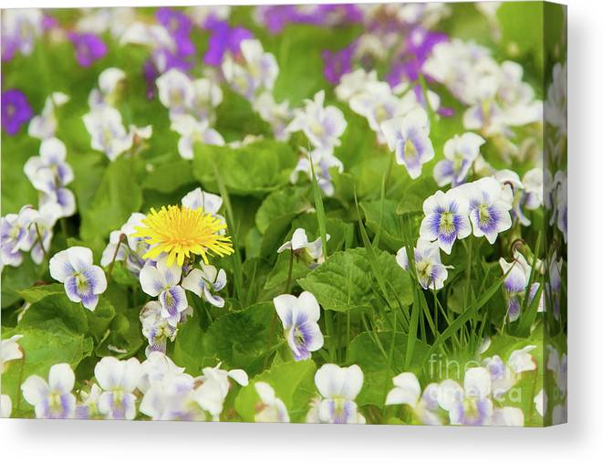 Dandelion Canvas Print featuring the photograph I Choose Spring by Marilyn Cornwell