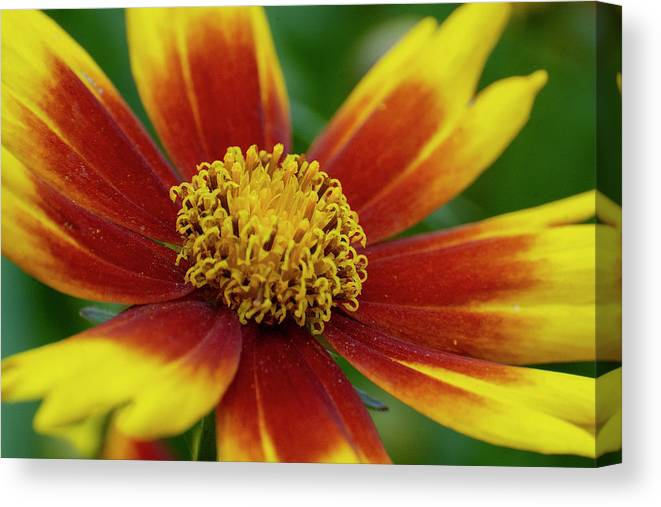Rudbeckia Canvas Print featuring the mixed media Rudbeckia by Smart Aviation