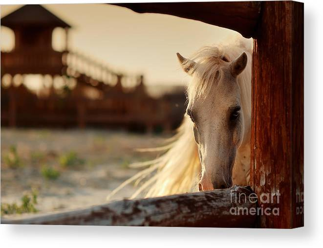 Beauty Canvas Print featuring the photograph Beautiful, Quiet, White Horse Waits In by Alekuwka