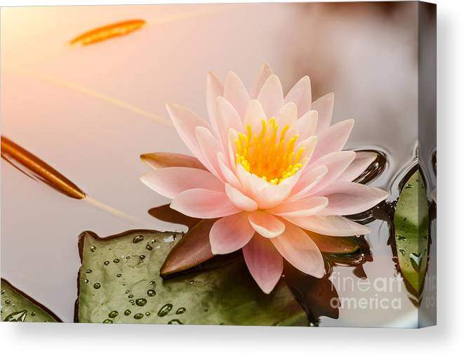 Romance Canvas Print featuring the photograph Beautiful Waterlily Or Lotus Flower by Zhao Jiankang