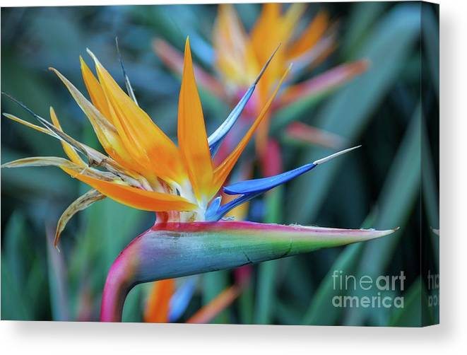 Flowers Canvas Print featuring the photograph Bird Of Paradise Flowers by D Davila