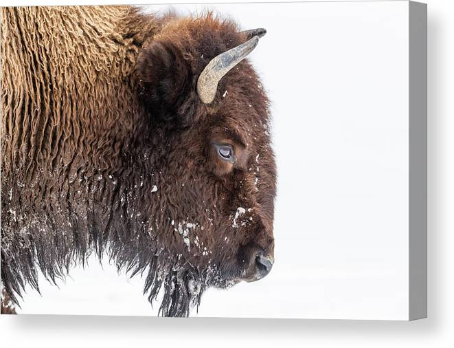 Vertebrate Canvas Print featuring the photograph Bison In Winter by Kencanning