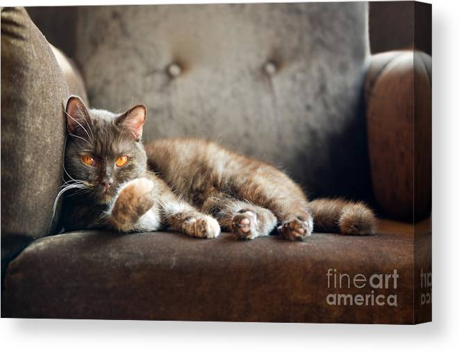 Fur Canvas Print featuring the photograph British Cat At Home by Nina Anna