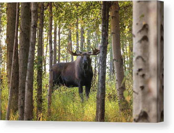 Alaska Canvas Print featuring the photograph Bull Moose In Fall Forest by Scott Slone