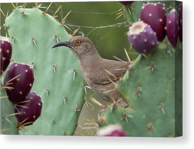 Birds Canvas Print featuring the photograph Curve-billed Thrasher, Cochise County Arizona by Doug Herr
