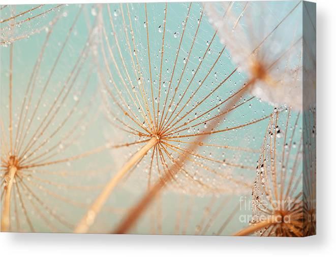 Beauty Canvas Print featuring the photograph Dandelion Flower With Water Drops by Aleksandar Grozdanovski