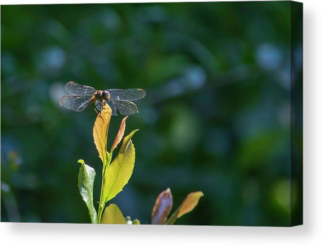 Dragon Fly Canvas Print featuring the photograph Dragon Fly by Robert Anderson
