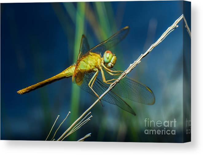Forest Canvas Print featuring the photograph Dragonflies, Insects, Animals, Nature by Boyphare