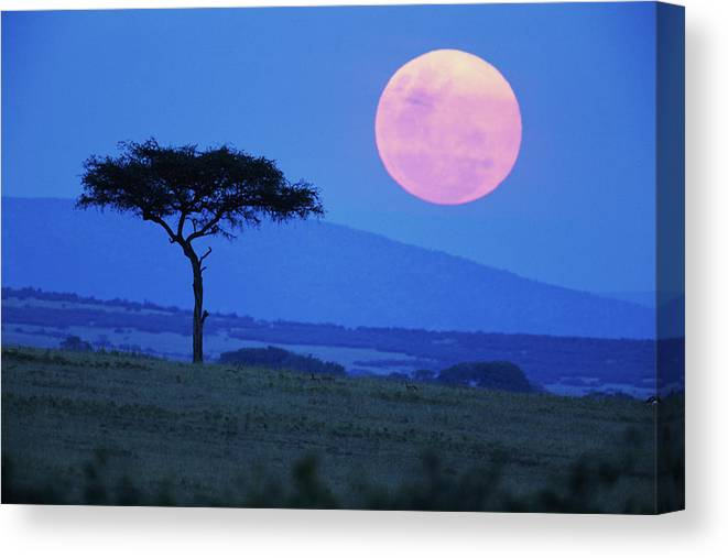 Scenics Canvas Print featuring the photograph Full Moon Rising Above Tree, Savanna by Paul Souders