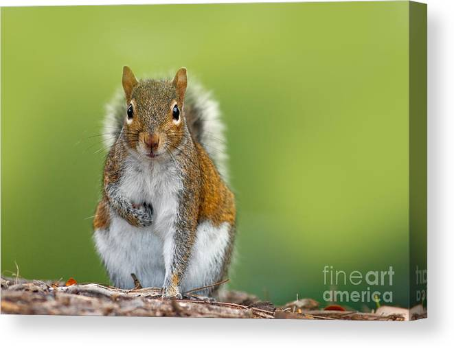 Studio Canvas Print featuring the photograph Funny Image From Wild Nature. Gray by Ondrej Prosicky