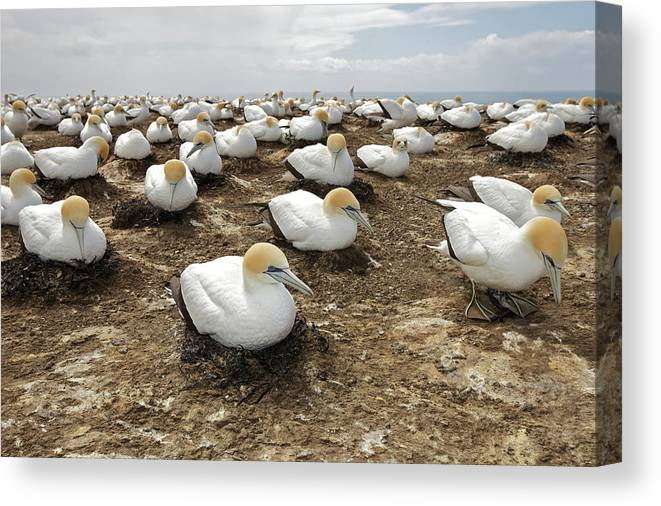 Animal Themes Canvas Print featuring the photograph Gannet Colony by Sven Klerkx