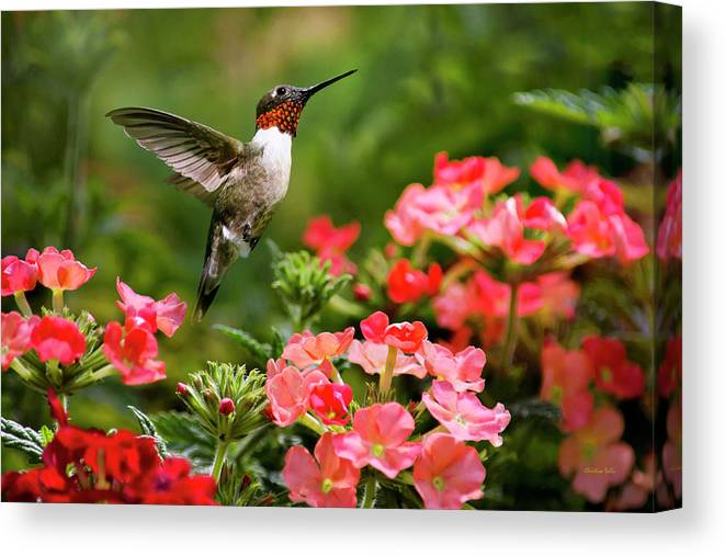 Hummingbird Canvas Print featuring the photograph Graceful Garden Jewel by Christina Rollo
