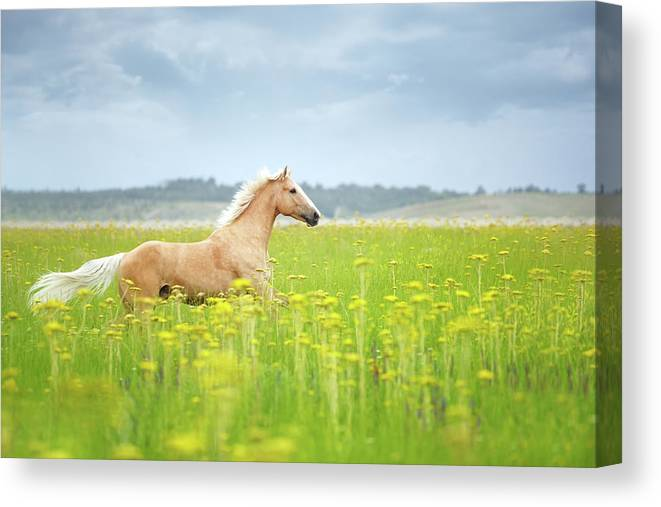 Horse Running In Field Canvas Print