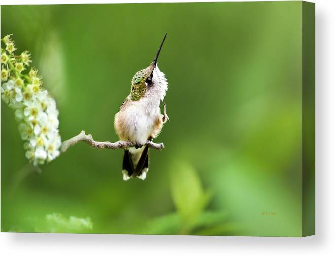 Hummingbird Canvas Print featuring the photograph Hummingbird Flexibility by Christina Rollo