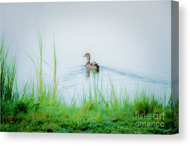 Photography Canvas Print featuring the photograph In The Ducks Wake by Sharon Mayhak