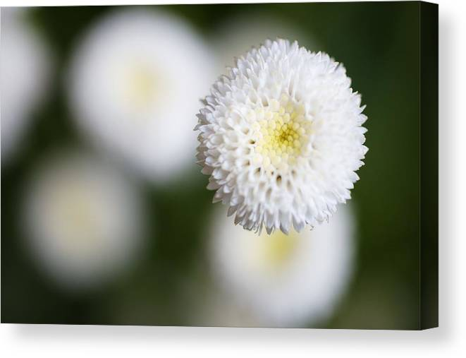 Bud Canvas Print featuring the photograph Isolated White Flower Bud by Tim Green