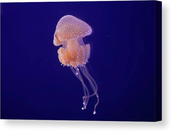 Animal Themes Canvas Print featuring the photograph Jellyfish by Pandiyan V