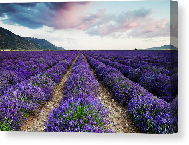 Lavender Canvas Print featuring the photograph Lavender Field by Nicole Young