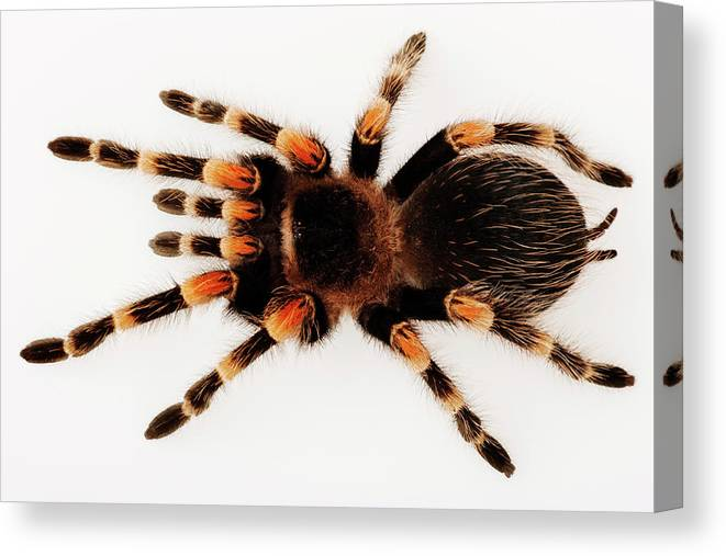 White Background Canvas Print Featuring The Photograph Mexican Redknee Tarantula Brachypelma By Martin Harvey