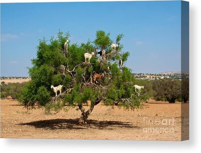 Atlas Canvas Print featuring the photograph Moroccan Goats In An Argan Tree Argania by Aerostato