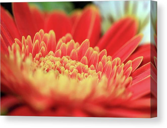 Mum Canvas Print featuring the photograph Mum Flower by C Gerber