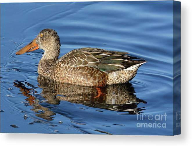 Duck Canvas Print featuring the photograph Northern Shoveler Duck Hen In Winter Lake by Merrimon Crawford