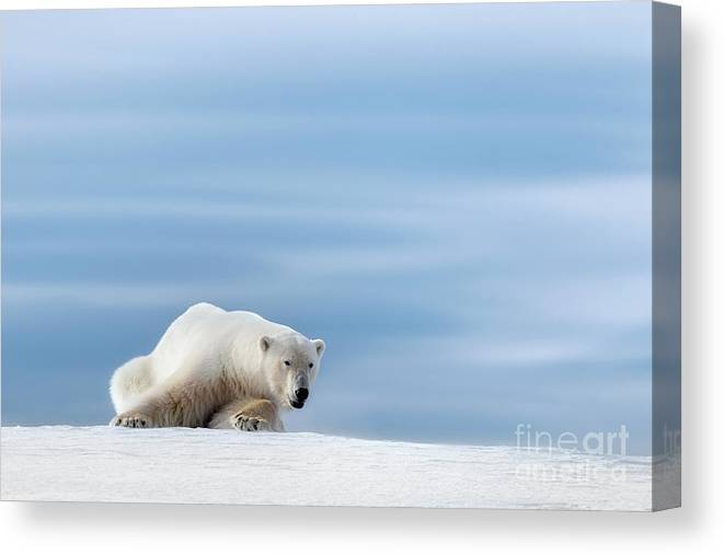 Polar Canvas Print featuring the photograph Polar Bear Crouching On The Frozen Snow Of Svalbard by Jane Rix