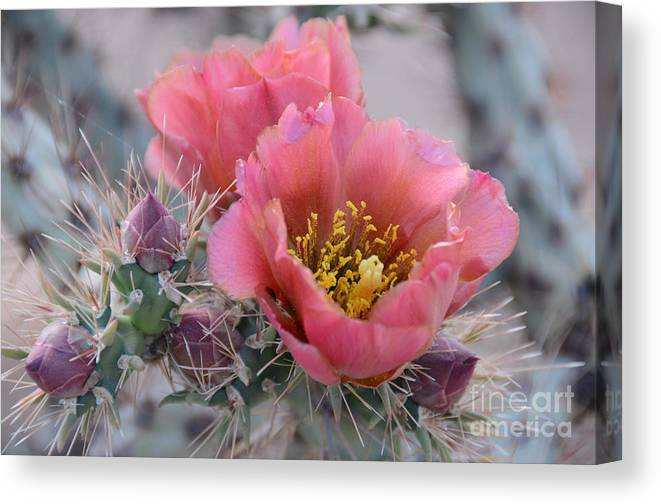 Opuntia Canvas Print featuring the photograph Prickly Pear Cactus With Pink Flowers by Jerry Horbert
