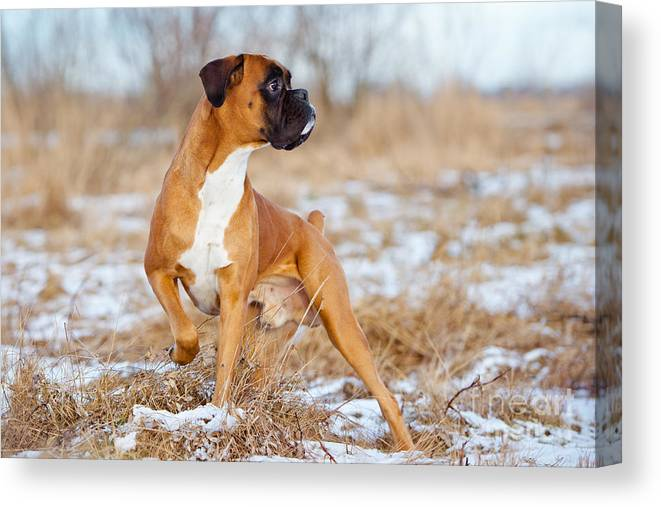 German Canvas Print featuring the photograph Red Boxer Dog Standing Outdoors by Otsphoto