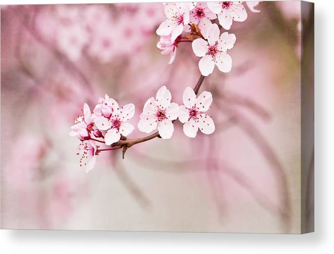 Petal Canvas Print featuring the photograph Spring Blossoms by Skcphotography